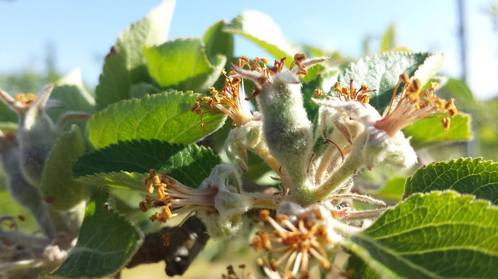 Tiny Bramley apples forming from the flower
