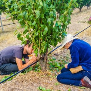 Two people grafting a fruit tree