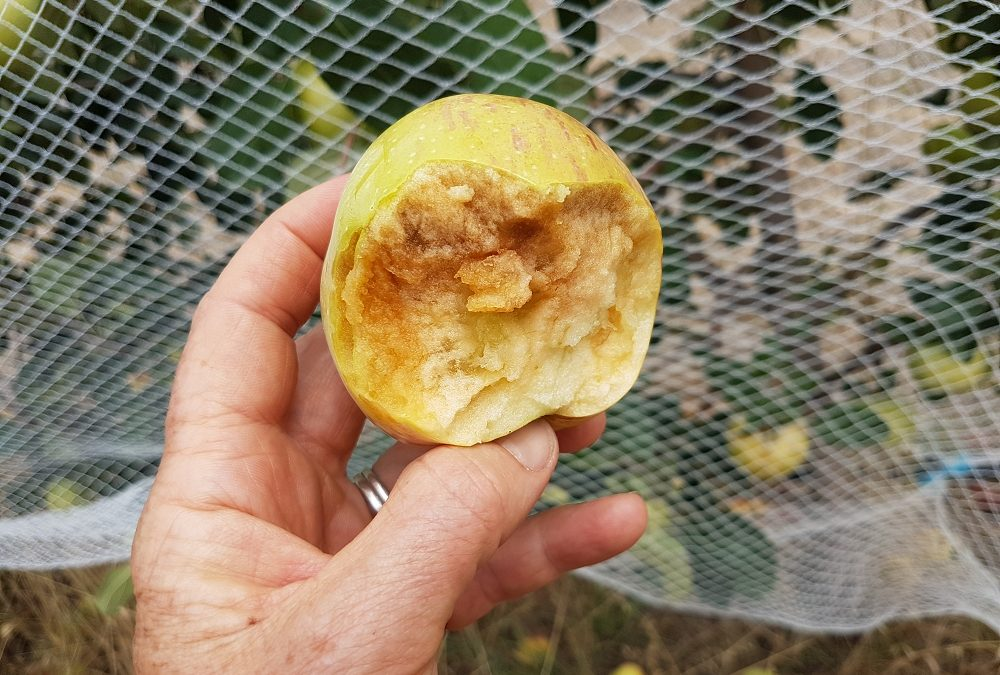 Why are my apples brown inside?