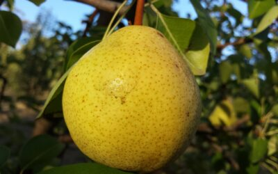 What do you think about growing pears?