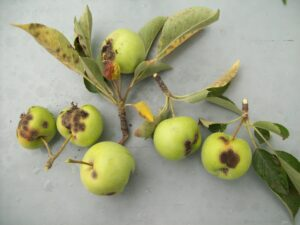 Small apples covered in black spot