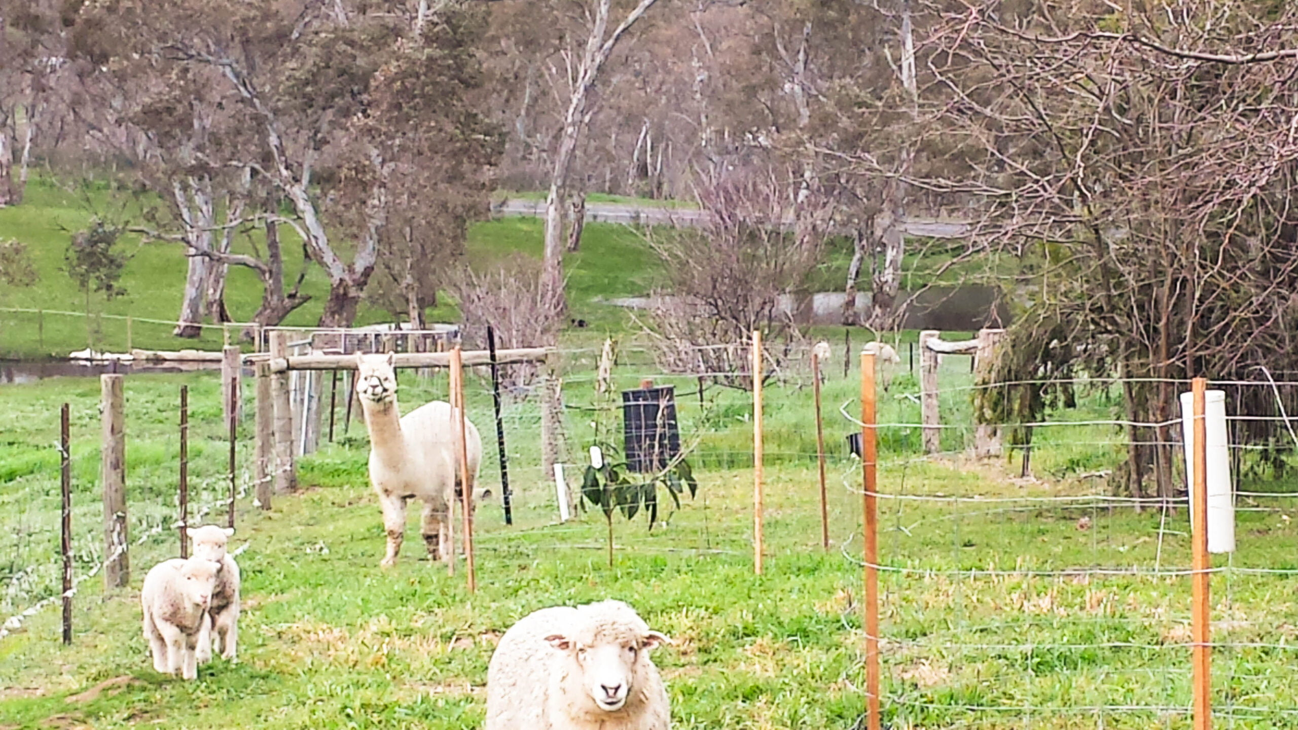 Fruit trees, animals, and electric netting