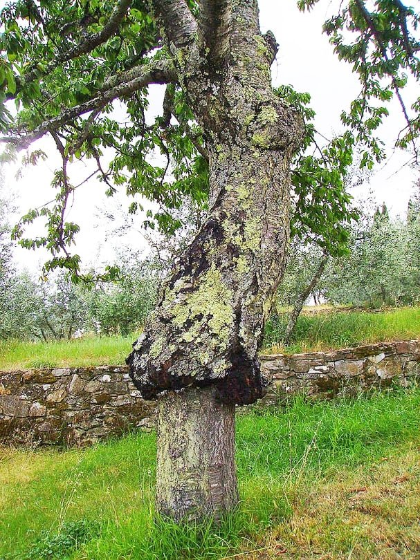 A mature tree in Tuscany with a very obvious graft union