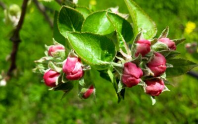 How to know if your fruit tree flowers are healthy