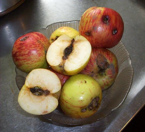 Apples riddled with the evidence of Codling moth infestation