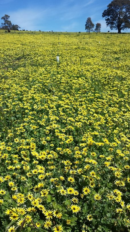A yellow carpet of capeweed in the orchard
