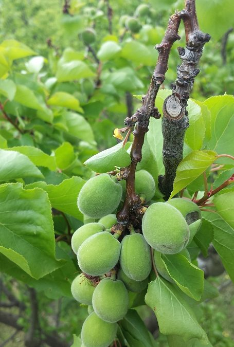 How to use fruit thinning to protect the structure of your fruit tree