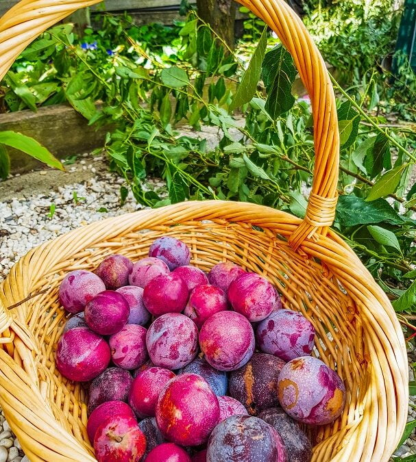 Why every garden needs at least one plum tree – if not more