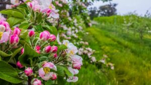 gala apple tree with pink and white blossom