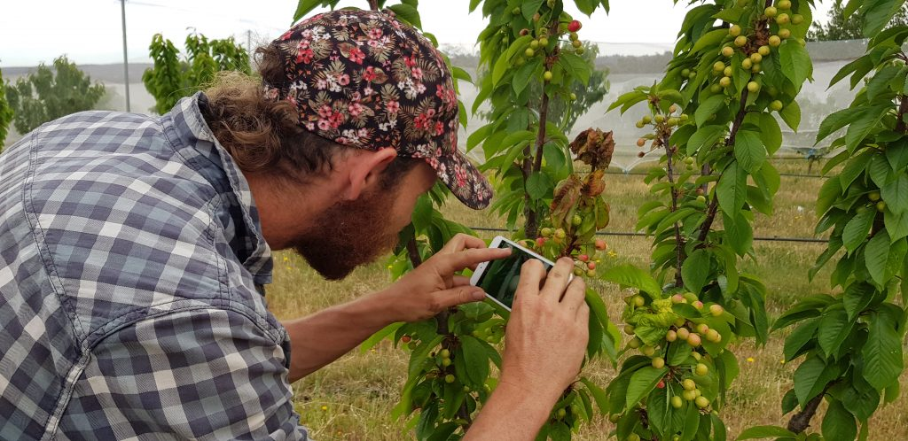 Farmer Ant admiring his ripening cherries growing