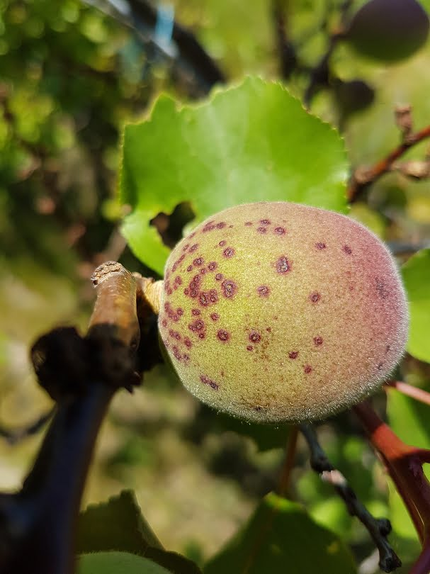 A young apricot showing signs of Freckle