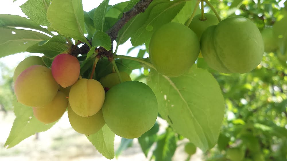 Angeleno plums before thinning