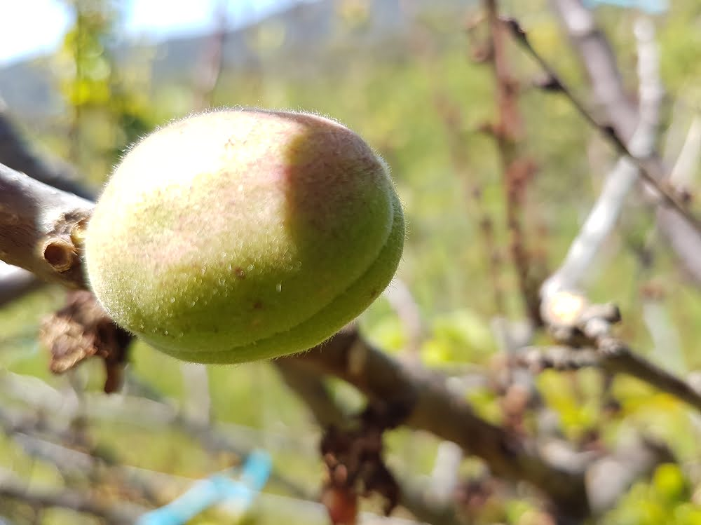 A clean apricot with plenty of space around it to grow into