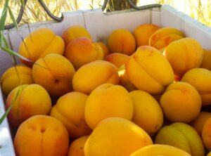 A box of ripe orange apricots