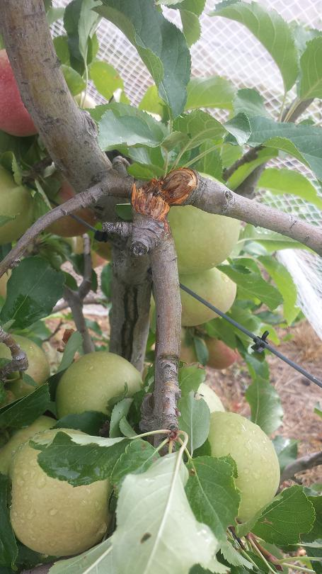 The weight of too much fruit has broken branches in this apple tree