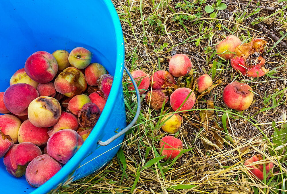 Peaches on the ground and in a bucket