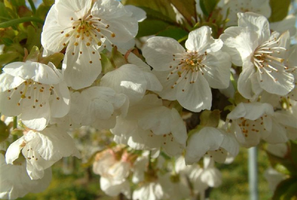 10 good reasons to grow cherries (and 8 reasons not to)