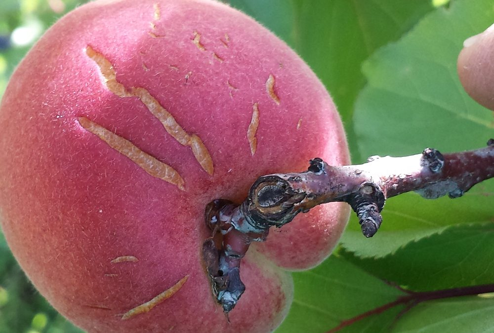 All the things that can go wrong with your apricot trees