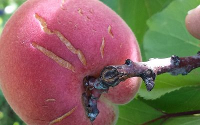 Things that can go wrong with your apricots