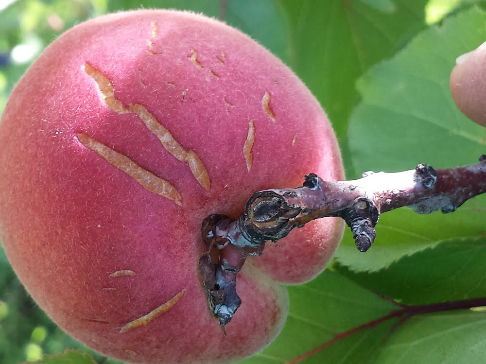 An Earlicot apricot showing rain cracking