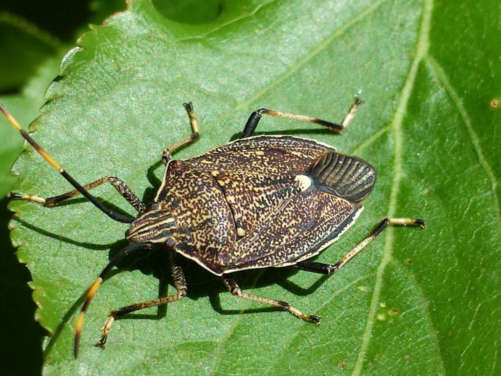 A spined predatory shield bug