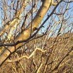 bare fruit trees in winter