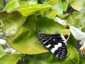 butterfly on grapefruit tree
