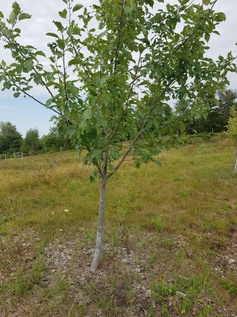 A mulched apple tree at Maine Heritage Orchard in Unity, Maine