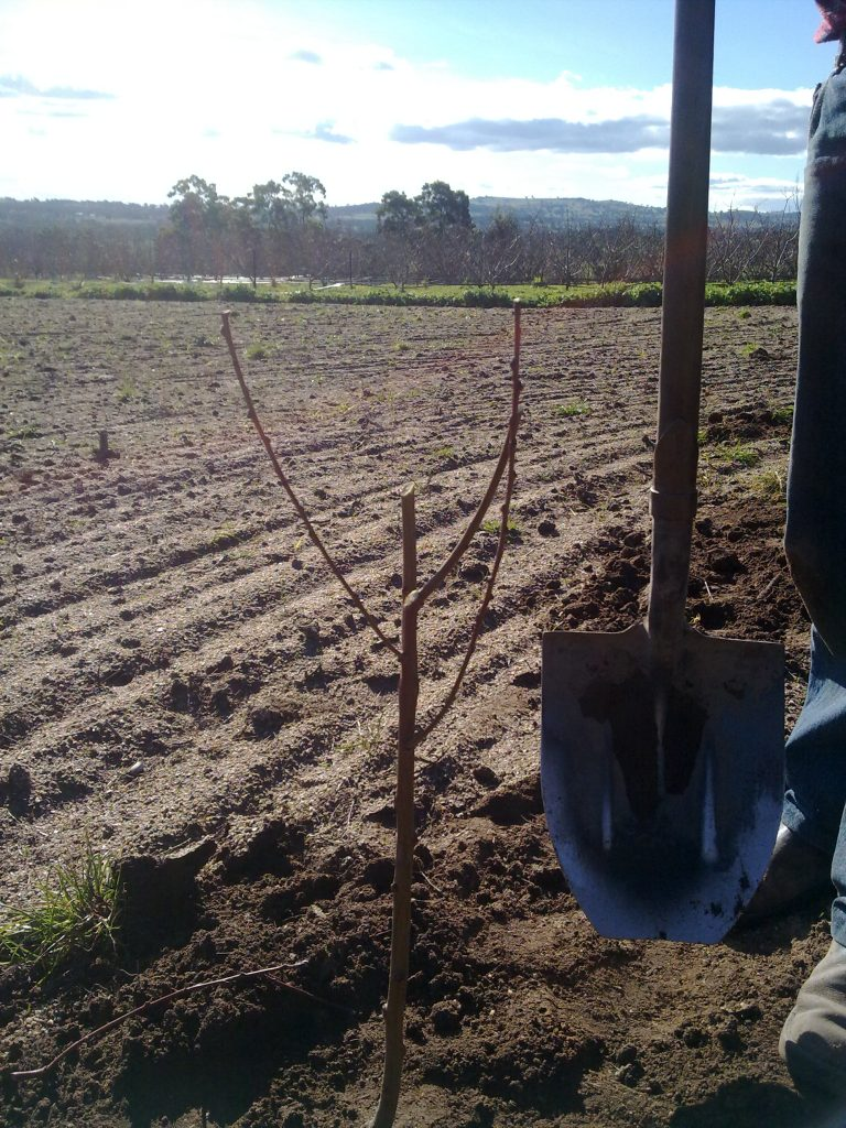 Grow fruit trees from seed
