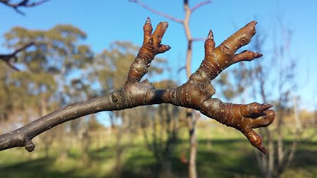 A spur on a pear tree