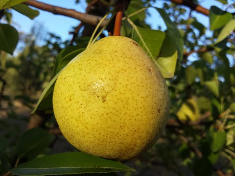 What do you think of pears?