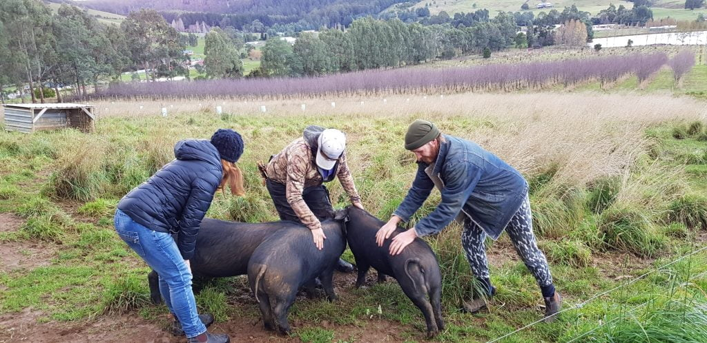 Ant giving the pigs what they love at Our Mates' Farm in Geeveston