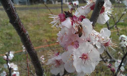 bee on apricot blossom