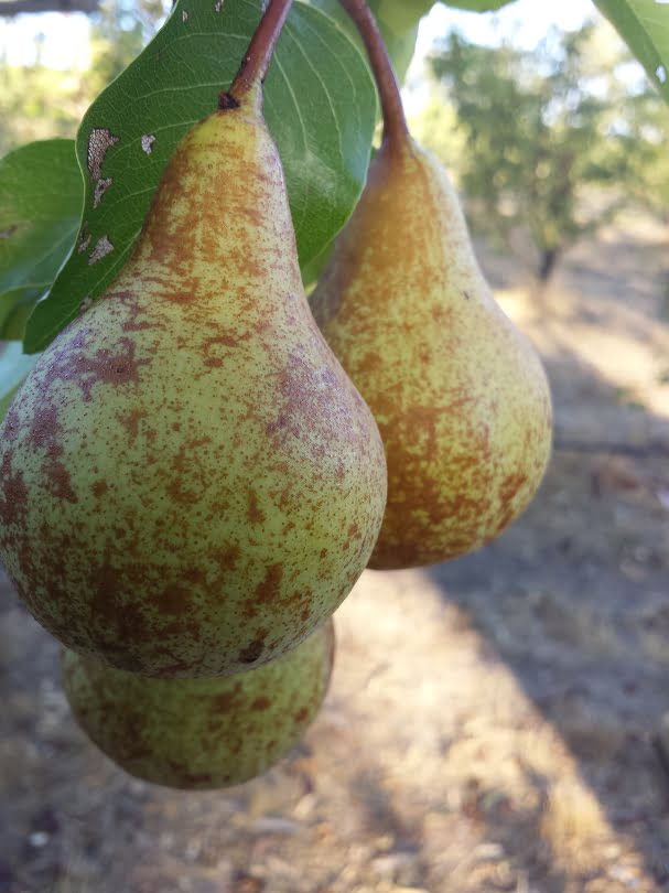 Beurre Bosc pears showing their natural russetted skin