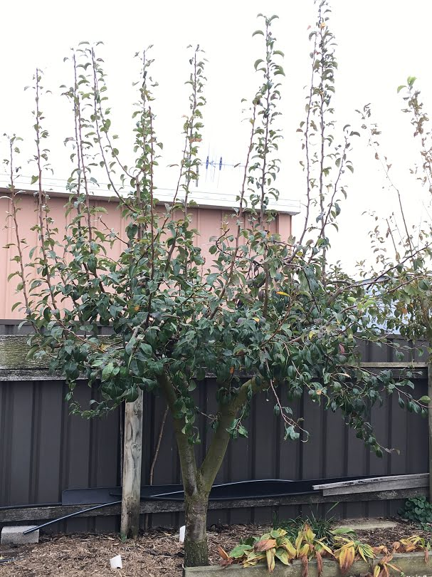 The monster plum tree from the beginning of the blog after the first year's renovation pruning - what an amazing contrast!