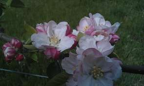 Bramley-apple-flower-295x176