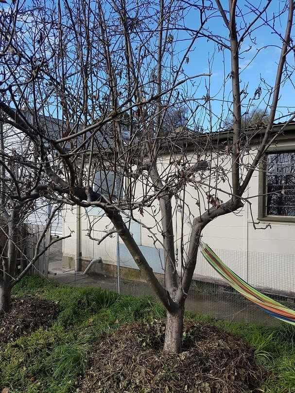 A huge fruit tree that has been allowed to grow waaaay too big (but it's a great spot for the hammock)