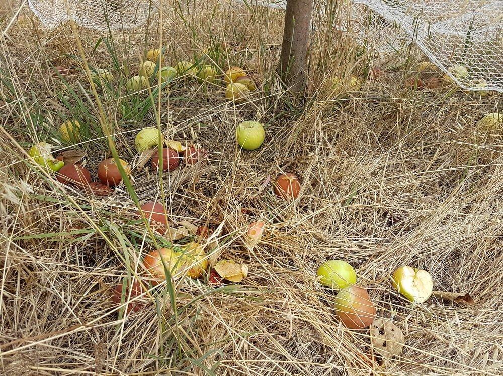 Gravenstein apples on the ground in a heatwave