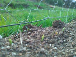 Gung hoe seedlings-490x367