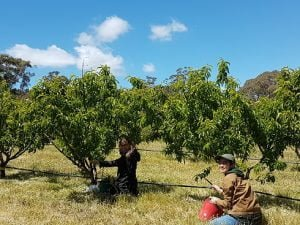 Hana and Helle (awesome volunteers) helping to tape the nectarines