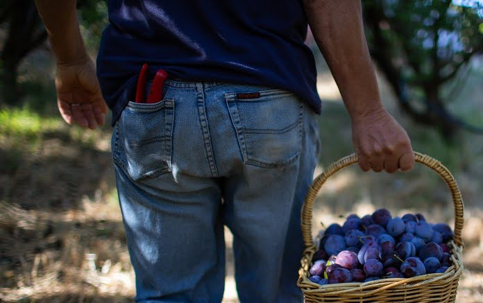 Becoming an experienced pruner is an important part of getting great fruit yields