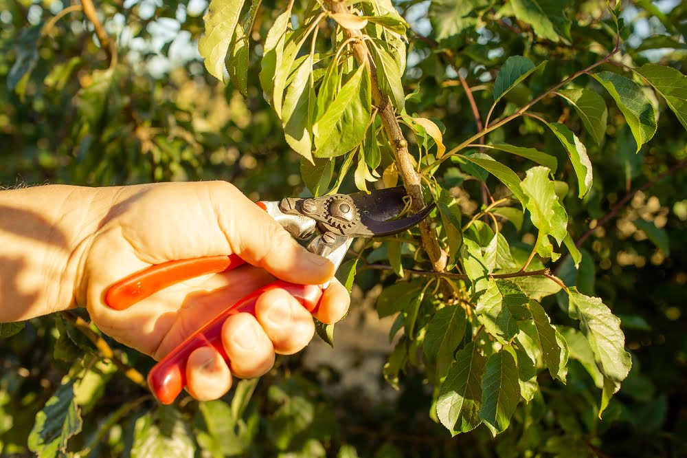 Summer pruning after harvest tends to slow the tree's growth without affecting fruit