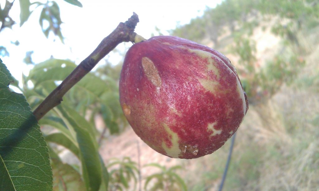 A nectarine infected by curly le