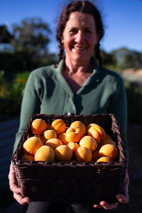 A bounty of apricots destined for the kitchen