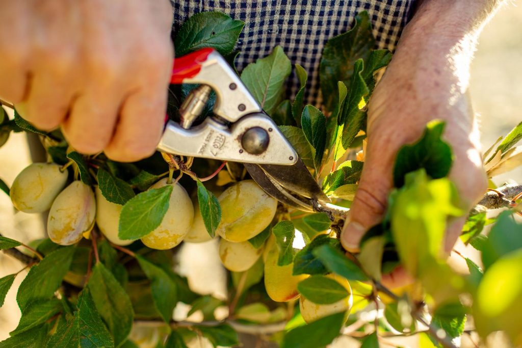 Summer pruning with fruit on the tree can affect both the fruit and the tree