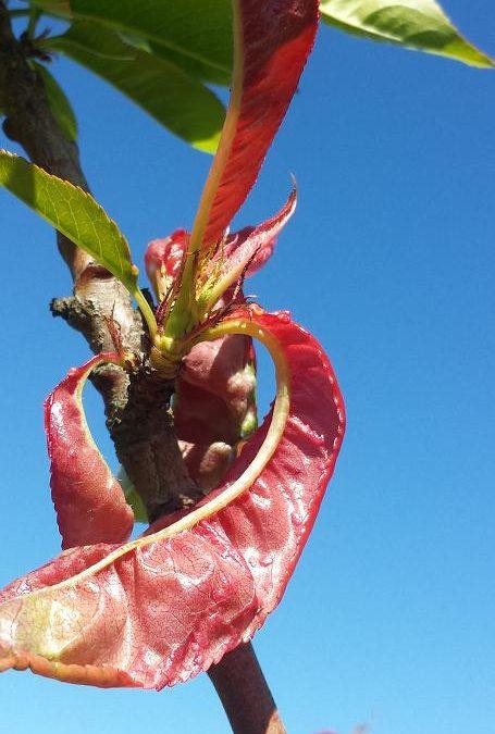Keys to Preventing Leaf Curl