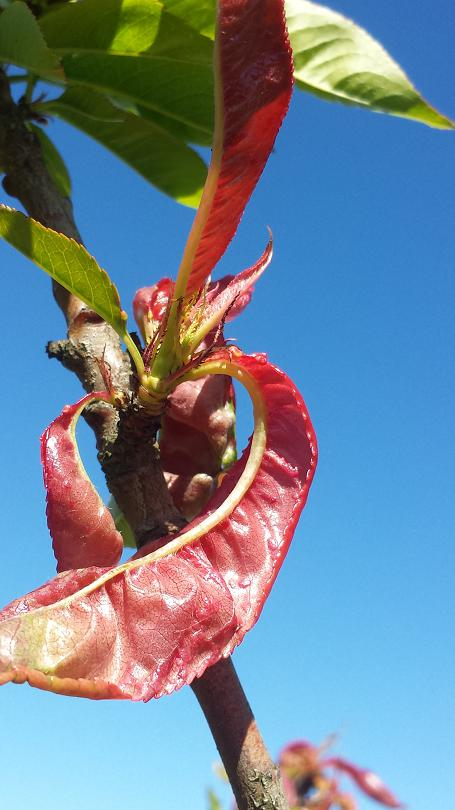 A fresh Leaf curl infection on a peach tree in spring