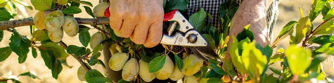 hand-secatuers-cutting-fruit-branch