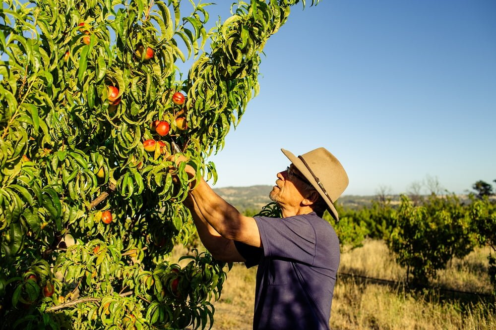 Hugh checking the quality of the nectarine crop