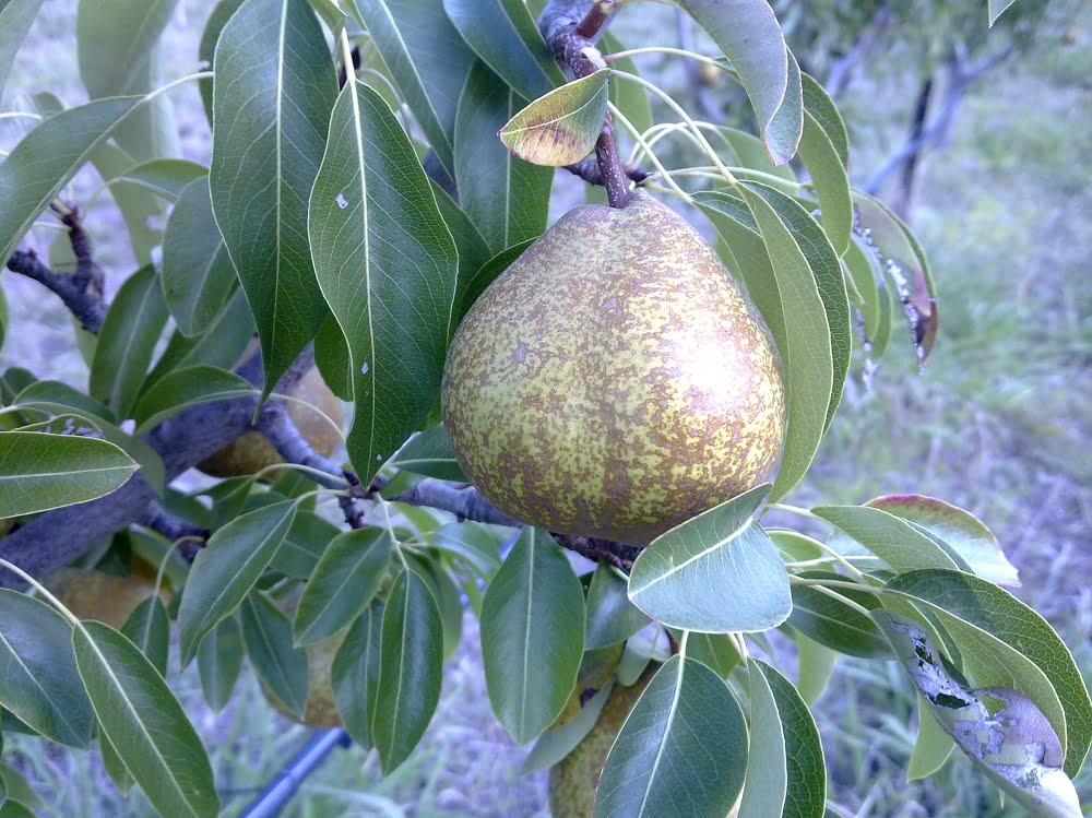 A late season Winter Nelis pear